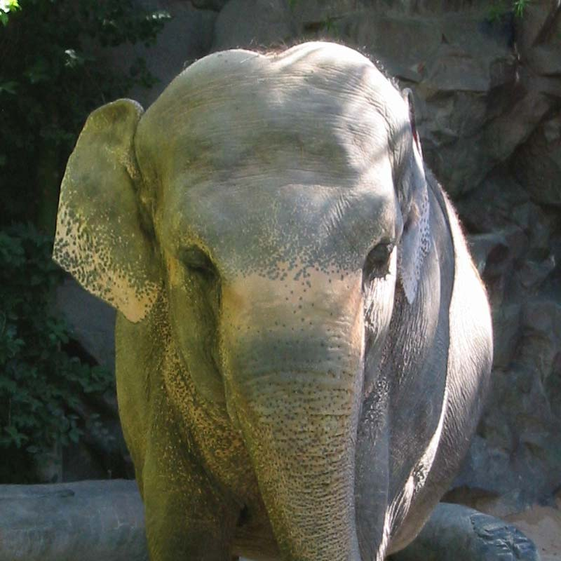 An elephant at Siegfried and Roy's Secret Garden at the Mirage Hotel & Casino in Las Vegas, Nevada.